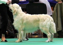 Oscar winning 4th in Yearling Dog at Crufts 2013